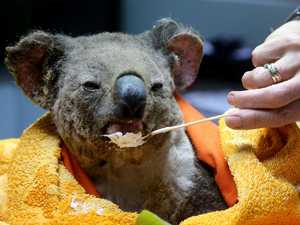 Pechey koala rescue takes to the trees with cherry picker