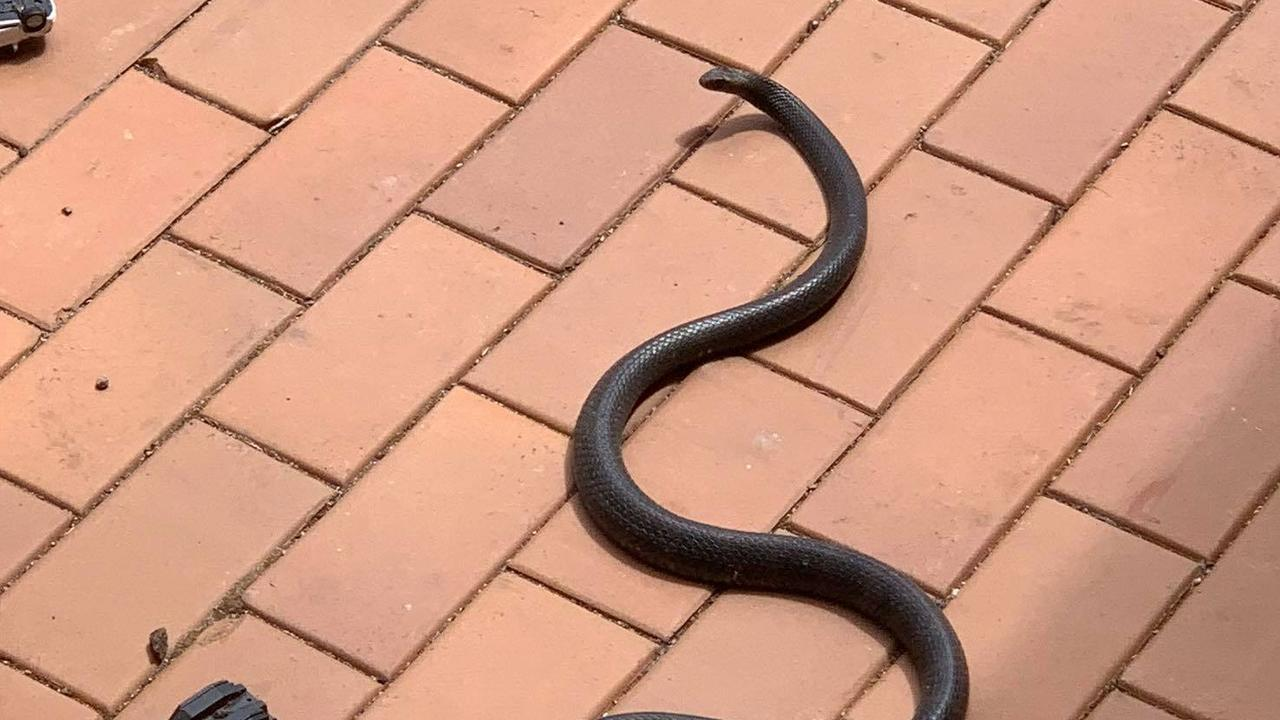 NOPE: Deadly snake searched for water in the MP's backyard.