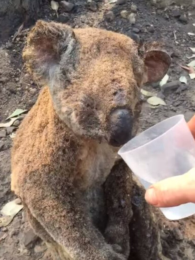 The koala was taken to the Port Macquarie Koala Hospital. Picture: Koala Hospital Port Macquarie/Facebook