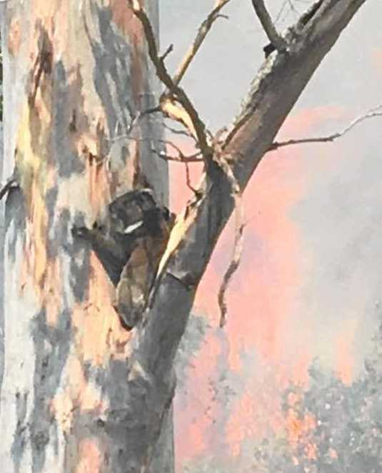 A koala up a burning tree at the Border Trail fire at Woodenbong where the Bonalbo RFS extinguished the fire at the base and a photo was taken by fire captain.