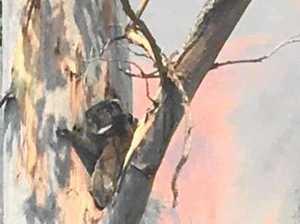 Photo of koala fleeing fire looks like watercolour painting