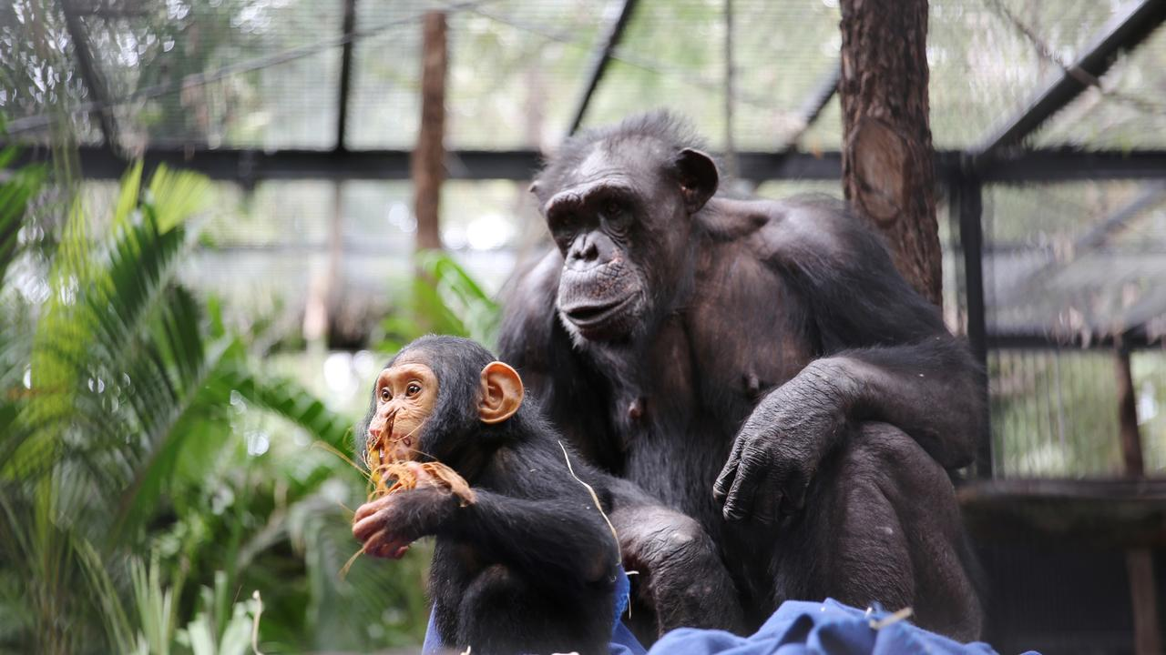 SUNDAY MAIL ONLY … chimpanzee Rockhampton Zoo Capri and Samantha in background 2