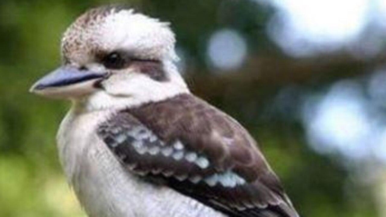 Kevin the kookaburra was brutally killed.