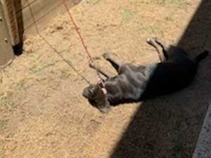 'Words fail us': Tethered dog dies in heat
