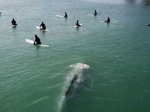 Incredible footage of whale with surfers