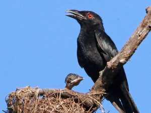 BRIGGSY'S BIRDS: Drongo is no fool