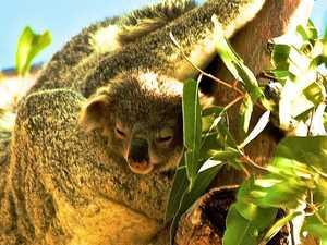 Shock statistics show koala population decline
