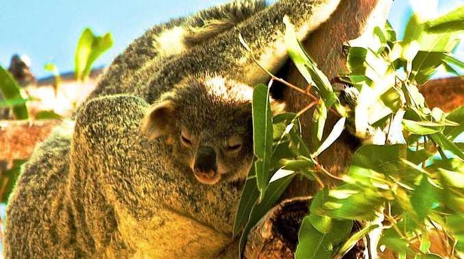 Shock statists show koala population decline