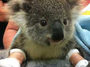 'Good news' for koalas in bushfire zone