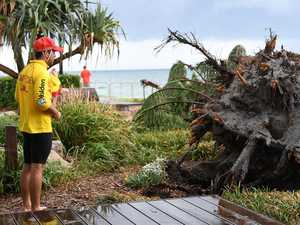 30m high Norfolk pine crashes down in storm