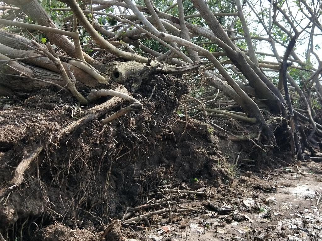 A mini-cyclone tore through Maroochy River uprooting decade-old trees and destroying property and farmland.