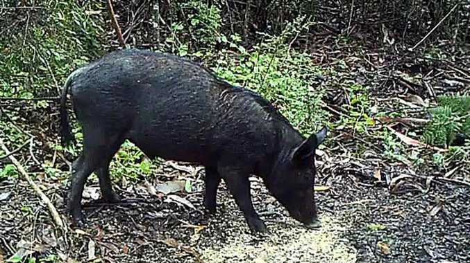 Feral pig bounty call amid swine fever fears