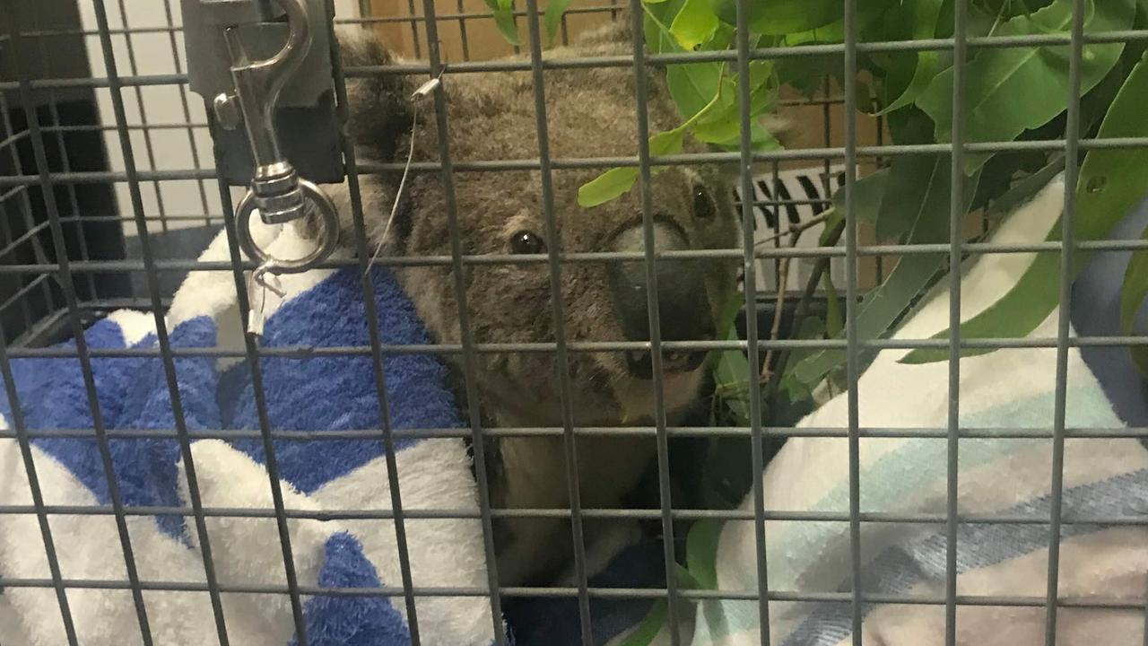 Spicer the Koala