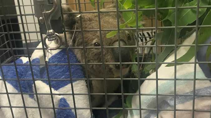 Spicers Peak koalas lose heartbreaking battle with bushfire