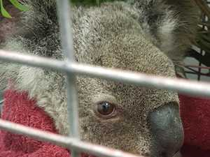 Vet inundated with koalas as fires take toll on wildlife