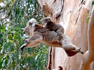 Cheers for Noosa's wild koala survival