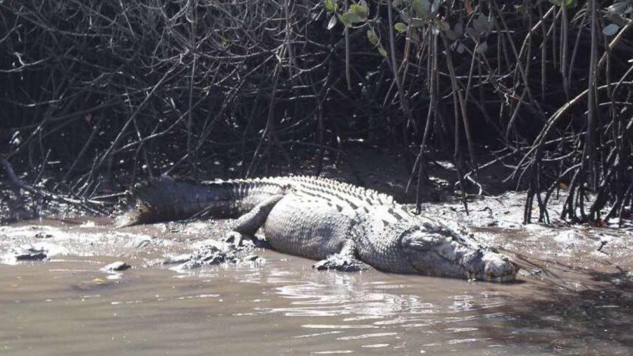 A massive croc was spotted in McCreadys Creek on November 18, 2019.