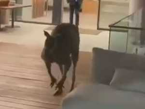 Kangaroo skips into luxury at resort's new bar