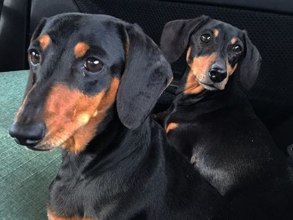 Daisy, 7, and Cody, 8, after being picked up from the RSPCA by their foster carer. Picture: Instagram/a_wheelie_good_new_life