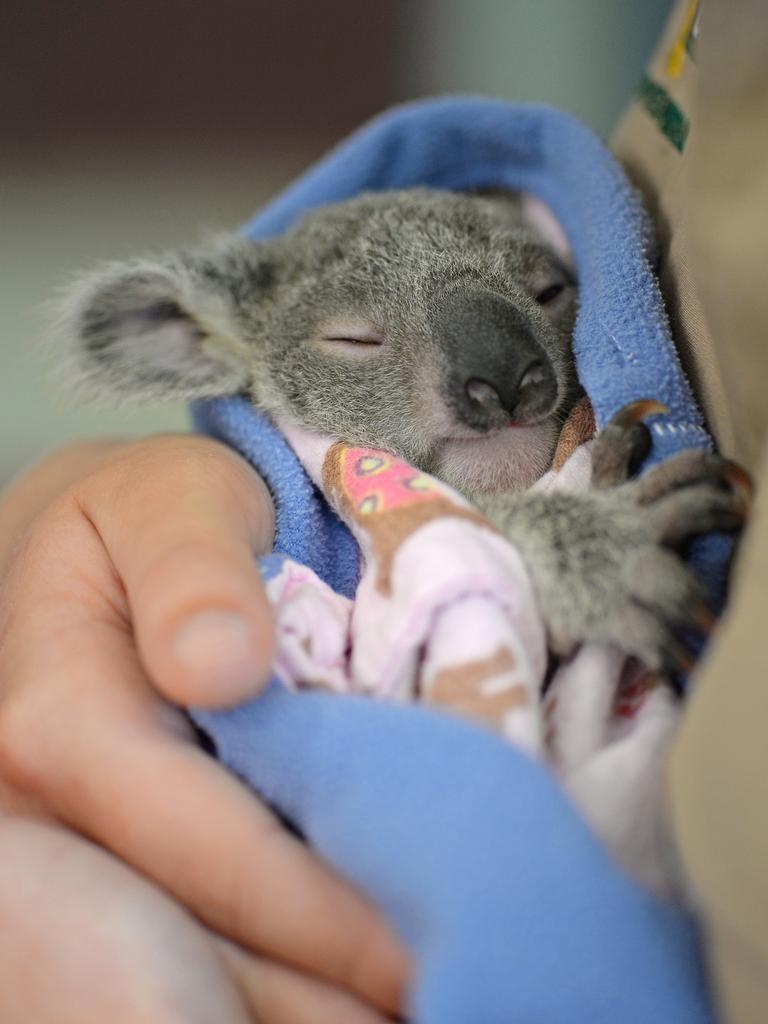Luke the koala. Photo: Ben Beaden