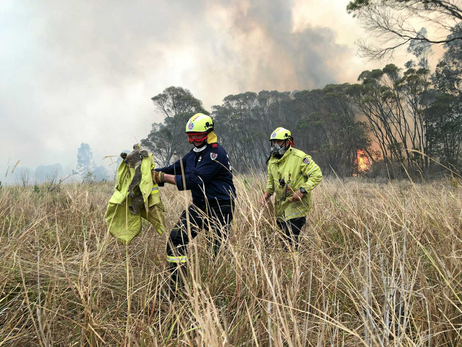 KOALA RESCUE: Four quick-thinking Fire & Rescue NSW fire-fighters ran towards a bushfire to rescue a frightened koala at Jackybulbin Flat at the Bora Ridge fires.