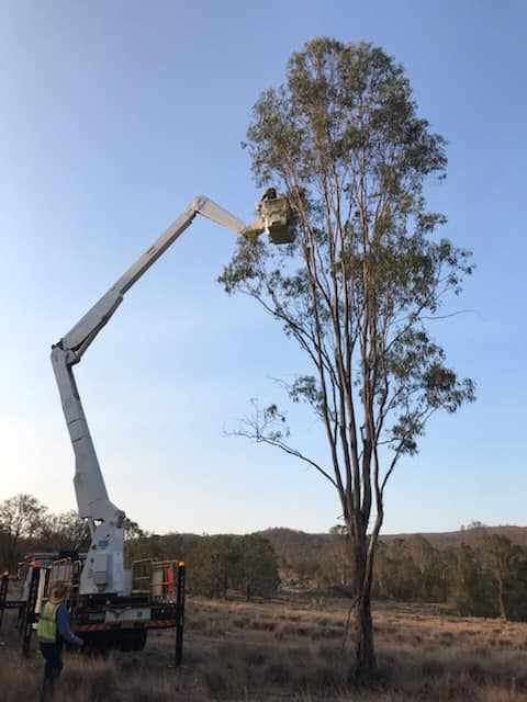 A cherry picker has been deployed to help rescue injured koalas in Pechey.