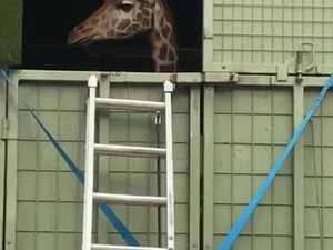 Kamili the giraffe's truck trip