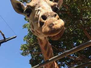 VIDEO: How do you transport a giraffe 3,403km?