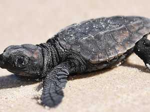 Expert drops Sekisui site turtle nesting bombshell