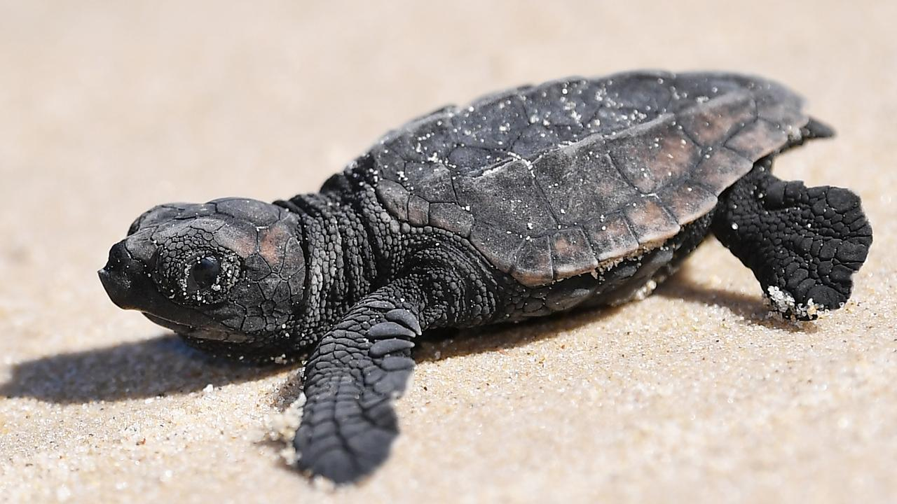 An ecologist has given evidence more nesting loggerhead turtles are drawn to populated beaches surrounded by development, than the beach adjacent to the proposed Sekisui House development.