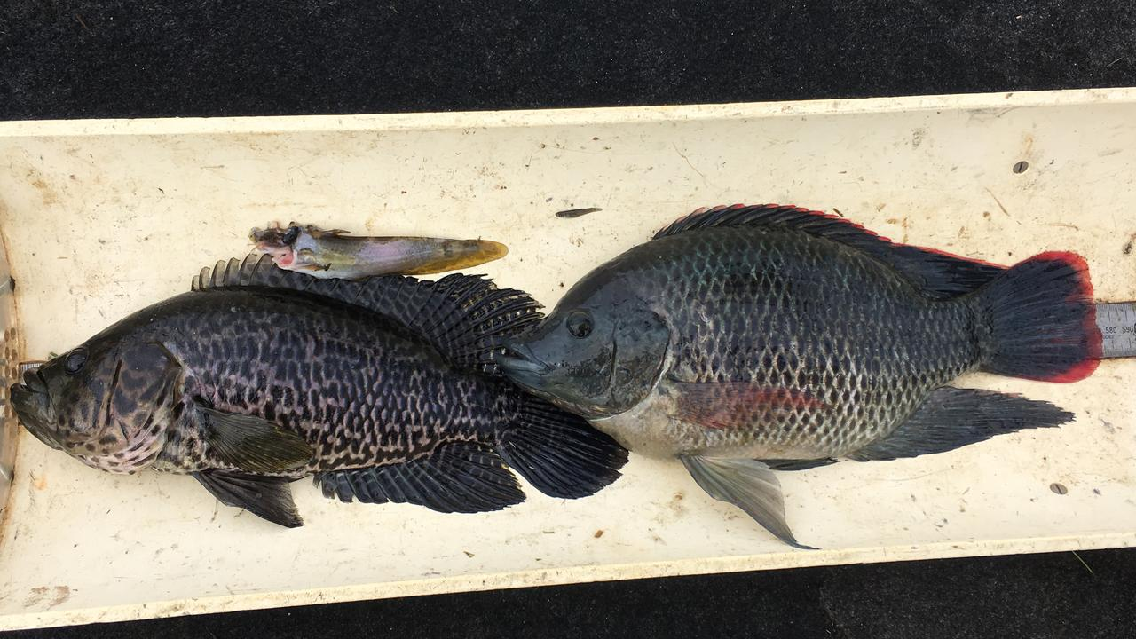 The same Jaguar cichlid (left) pictured with the native Hyrtl's catfish it was eating, above, and a tilapia to the right.