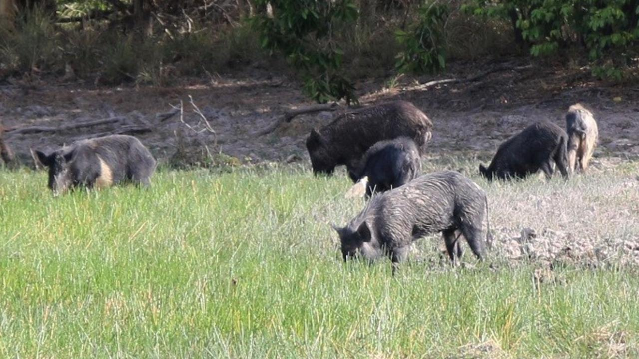 One Somerset councillor has suggested instituting a bounty on wild pigs.