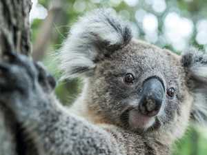 Wildlife group crowd-funds koala rescue equipment