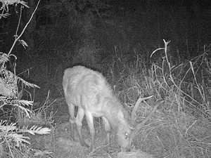 Popular CQ business reaps benefits of deer cull