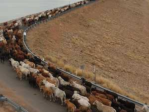 Moo-ve over! cattle crossing closes highway