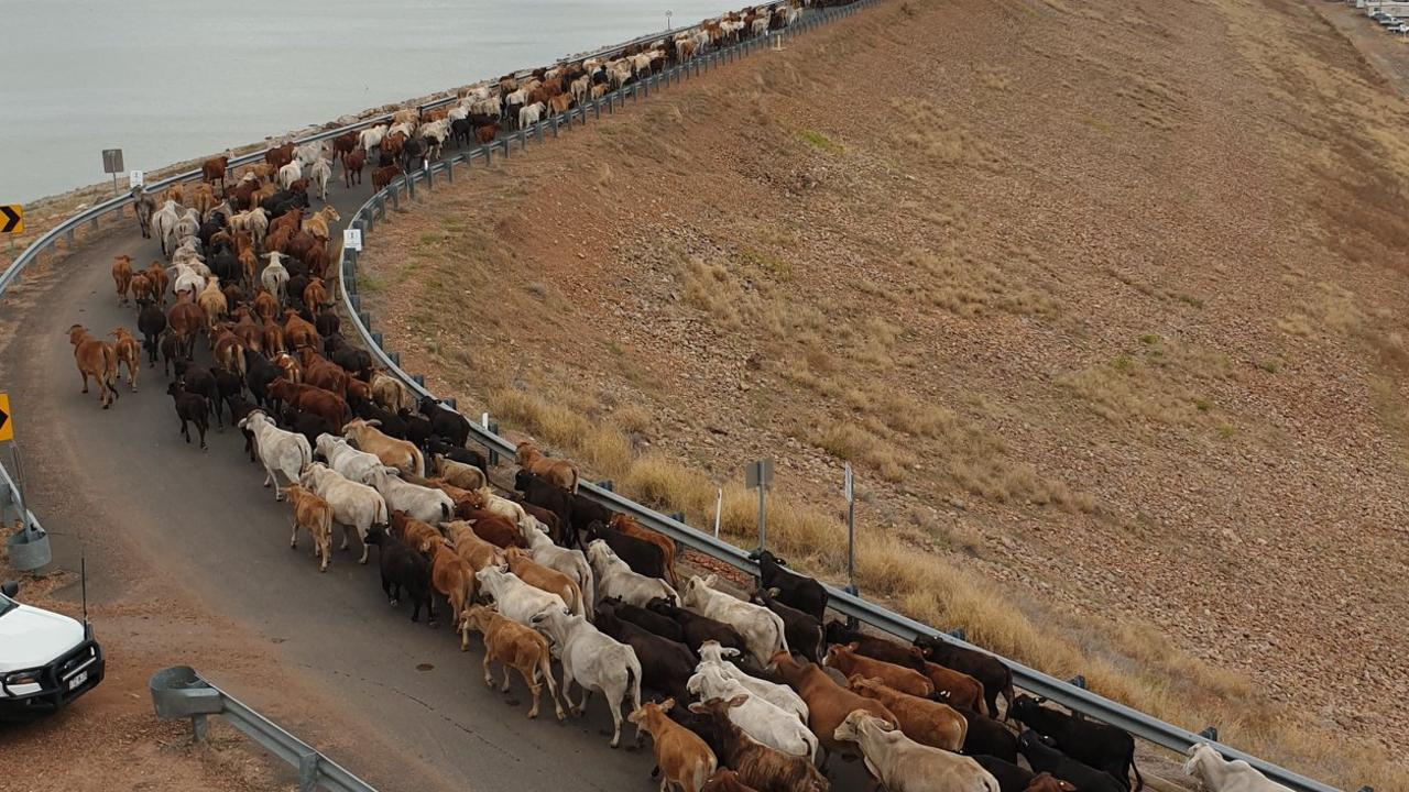 CATTLE CROSSING: Sunwater's Emerald operations and construction teams helped farmers herd 1500 cattle across the Fairbairn Dam wall yesterday