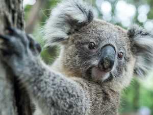 Linking koala concerns and DHA development is 'propaganda'