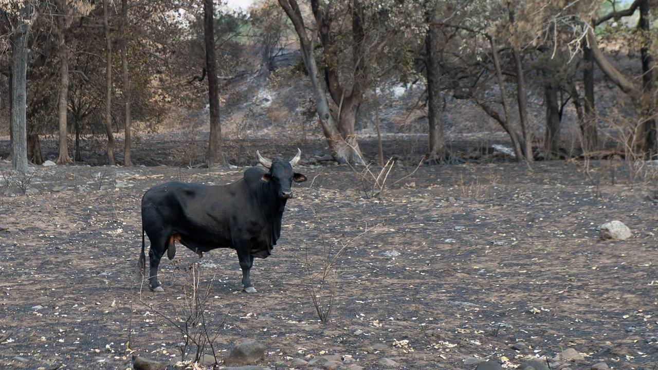 A lonely bull stands in a burnt out paddock at Finch Hatton.