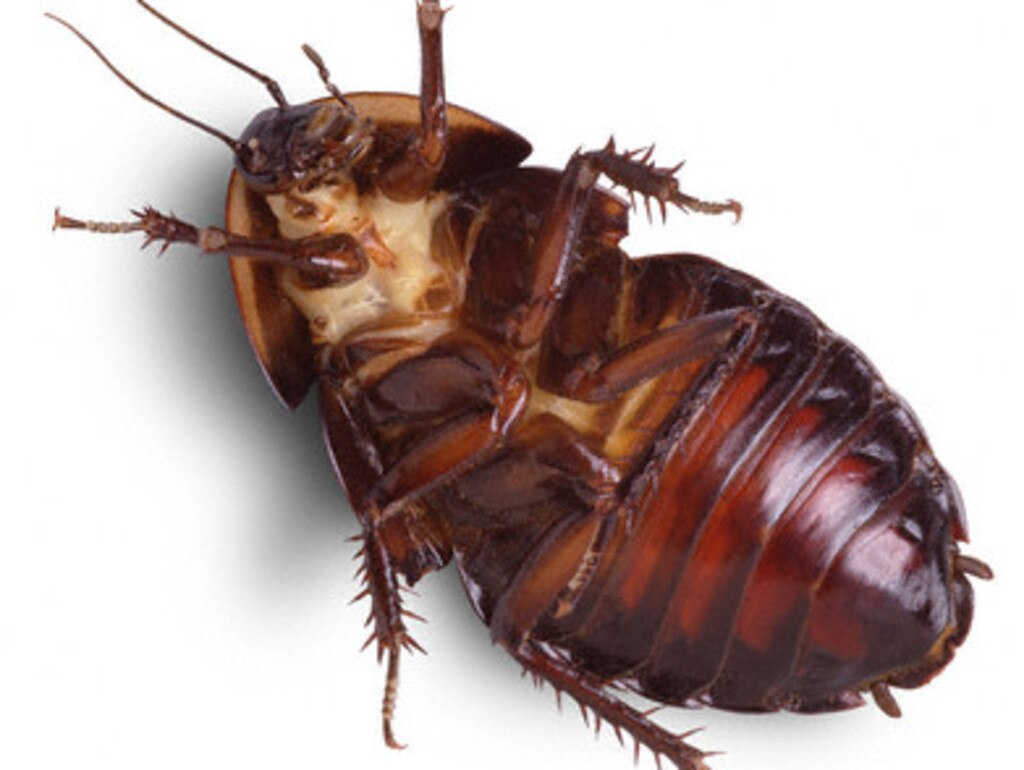 Australia's cockroach population is set to explode this summer. Picture: News Corp