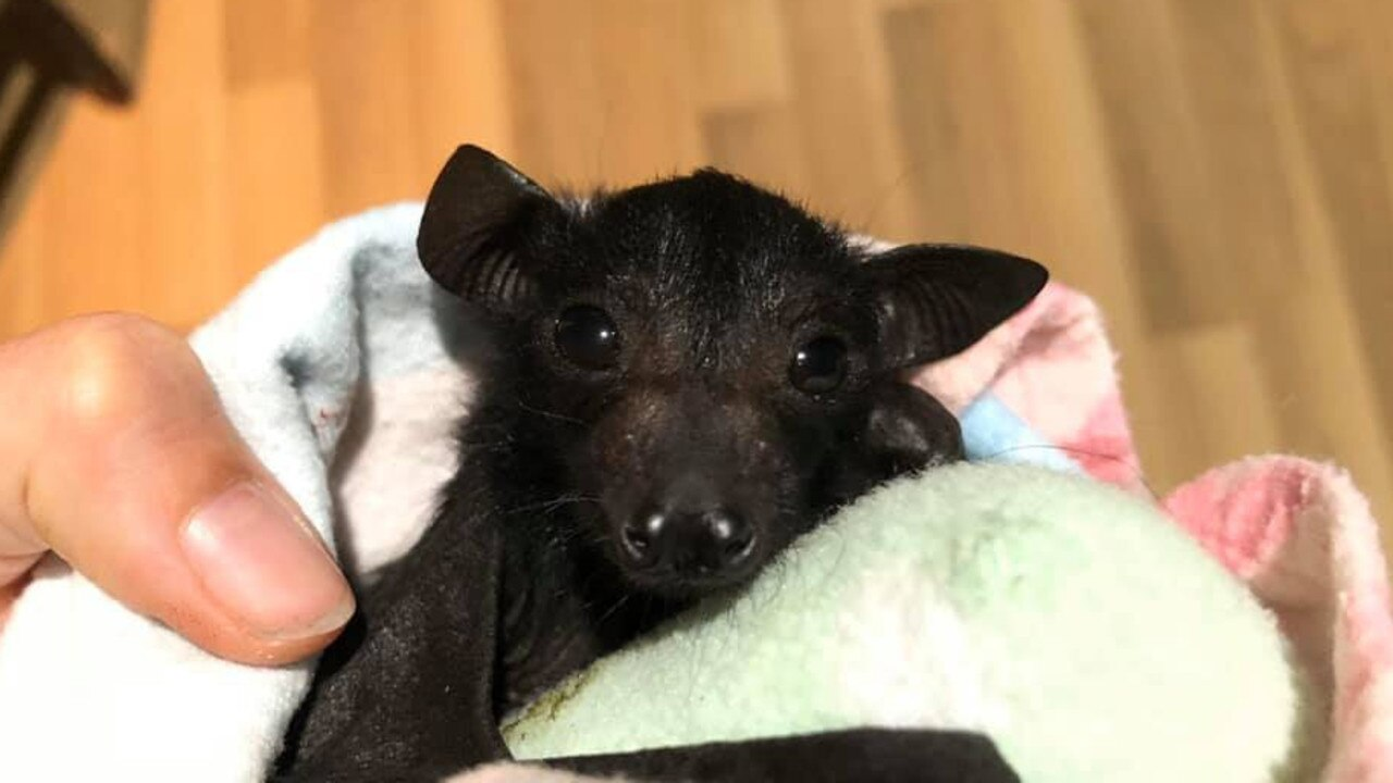 Baby bat Hori, orphaned after his mum was killed by a dog. He's currently being cared for by Bats QLD. Photo: Bats QLD