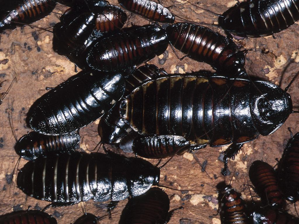 Cockroaches come in all shapes and sizes. Pictured are giant burrowing cockroaches common in Cairns. Picture: News Corp