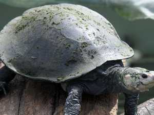 Urannah Dam would 'likely' see turtle extinction