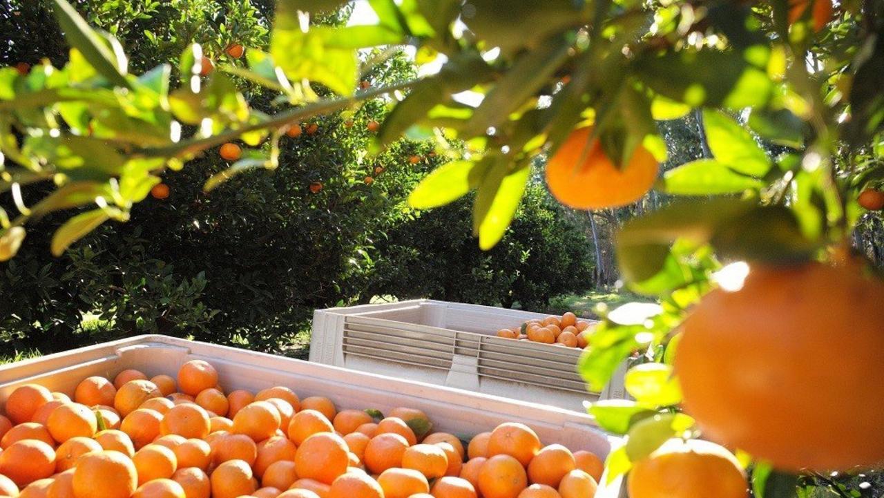 EXPORT OPPORTUNITIES: Ironbark Citrus at Mundubbera. Photo: Contributed
