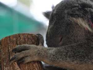 Survival rate for koalas rescued from fires 'not good'