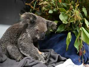 Koalas among the hardest hit by fire crisis