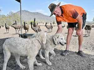 VIDEO: Man's best friend finds new buddies in emu farm