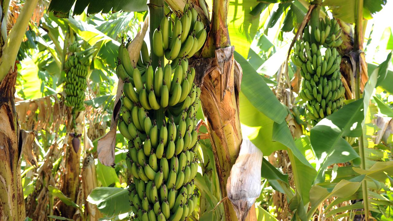 Researchers at UNSW Sydney have discovered a novel way to turn banana plantation waste into packaging material that is not only biodegradable, but also recyclable.