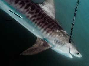 Monster sharks hooked near tourism hotspot