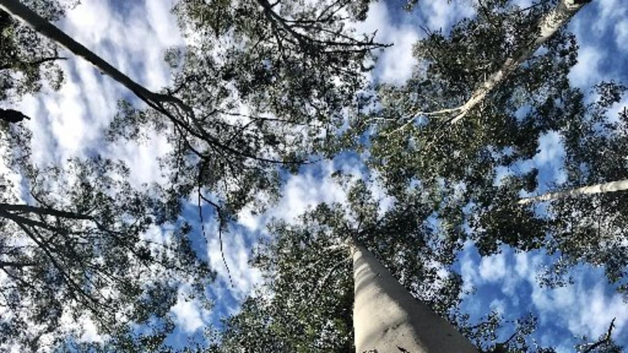 Tall trees in the State Forest near Urbenville. PIC: SUSANNA FREYMARK