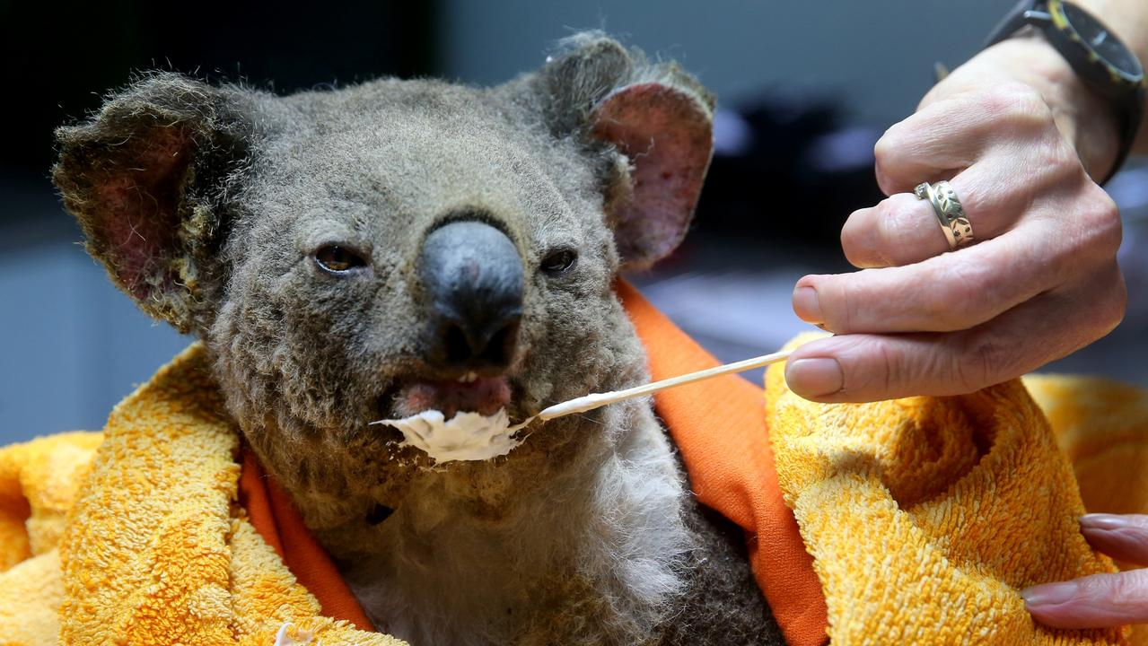 Volunteers from the Port Macquarie Koala hospital treat a burnt koala who was rescued from the fire ground. Bushfire ripped through prime koala breeding grounds killing an estimated 400 koalas. Picture Nathan Edwards.
